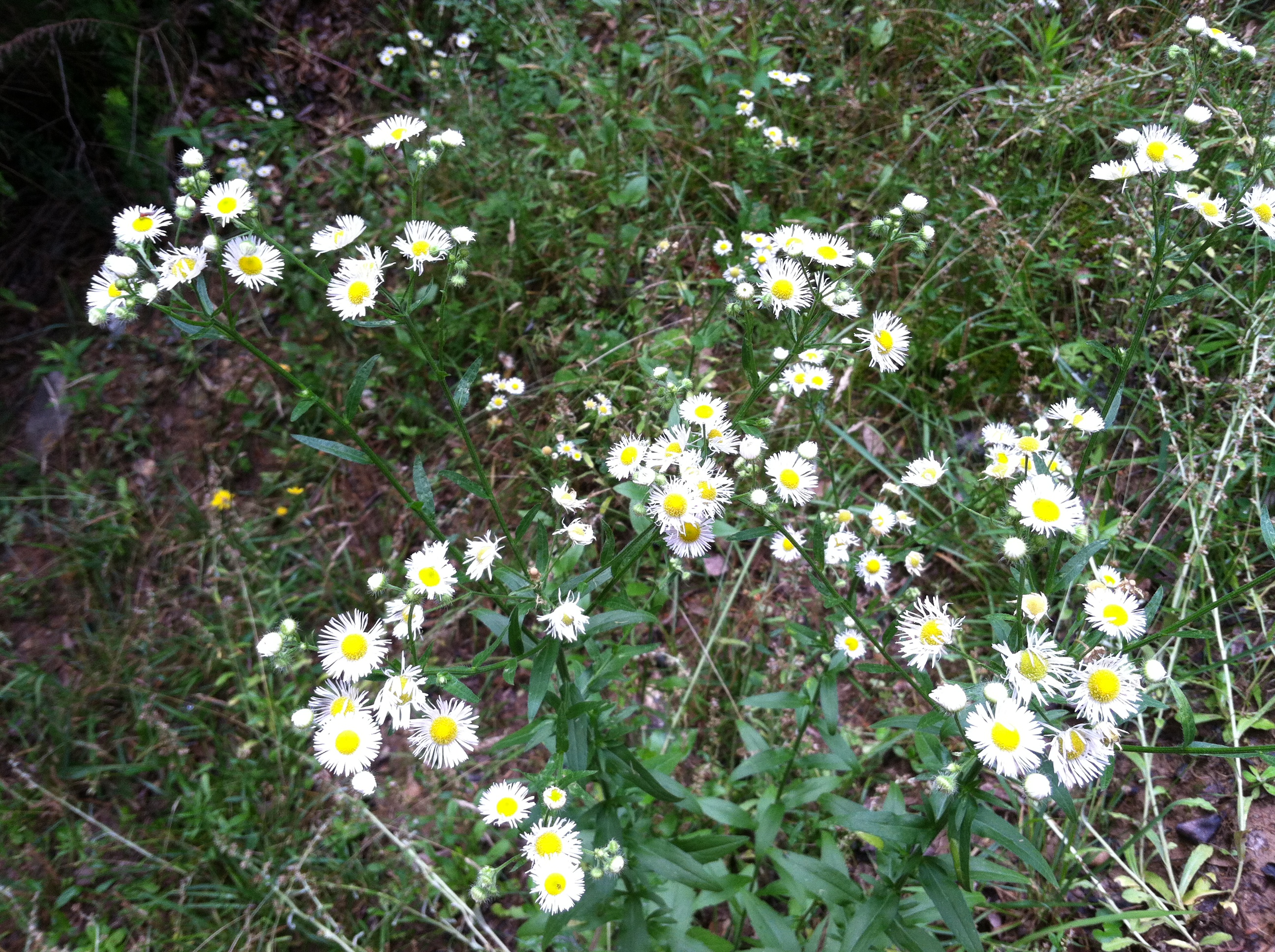 Plants into the woods collection of small daisy like flowers with many narrow white petals circled around a izmirmasajfo